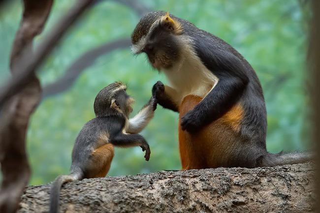 maymun bebek